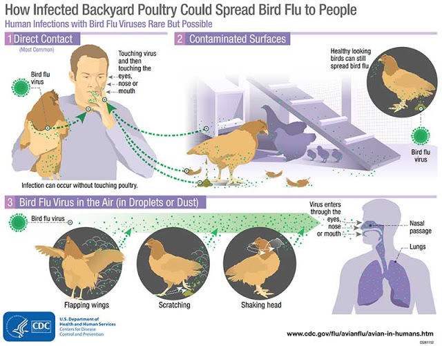 bird-flu-infographic-बर्ड फ्लू